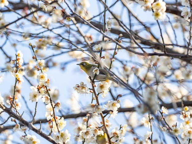 Foto de foco seletivo de um adorável pássaro japonês com flores de ameixa branca