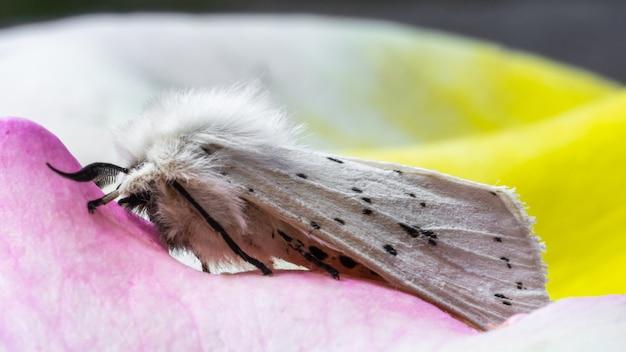 Foto de foco seletivo de um arminho branco com pétalas de rosa