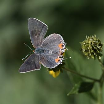 Foto de foco seletivo de um azul de cauda curta em uma flor