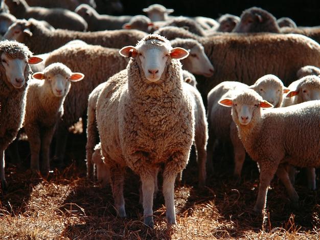 Foto de foco seletivo de um bando de ovelhas domésticas