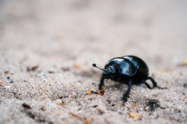 Foto de foco seletivo de um besouro de esterco preto em um prado arenoso em uma floresta holandesa
