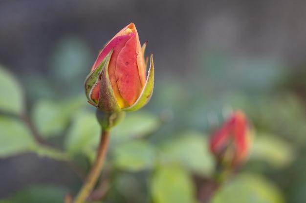 Foto de foco seletivo de um botão rosa na primavera