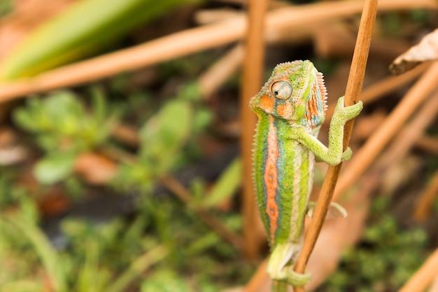 Foto de foco seletivo de um camaleão colorido em um pedaço fino de madeira na floresta