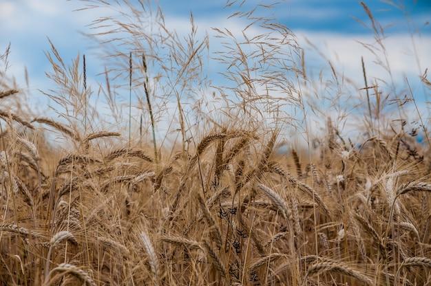 Foto de foco seletivo de um campo de cultivo de trigo