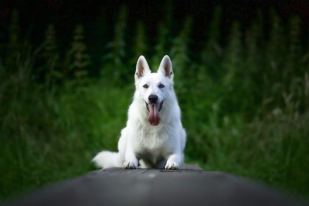 Foto de foco seletivo de um cão pastor suíço branco sentado ao ar livre