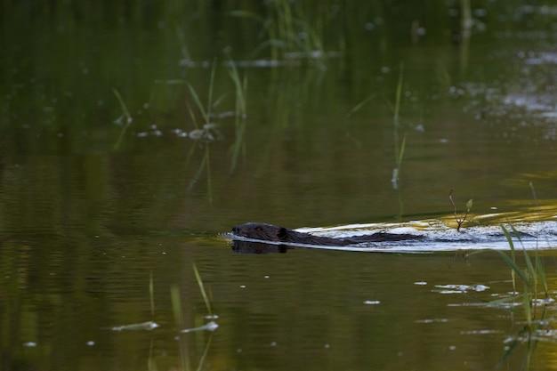 Foto de foco seletivo de um castor no lago