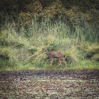Foto de foco seletivo de um cervo marrom no campo