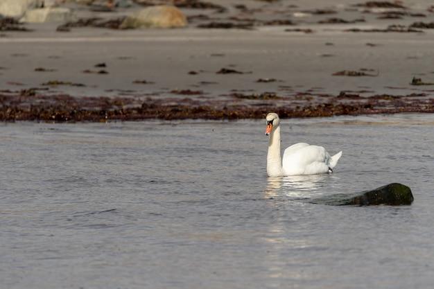 Foto de foco seletivo de um cisne gracioso flutuando no lago