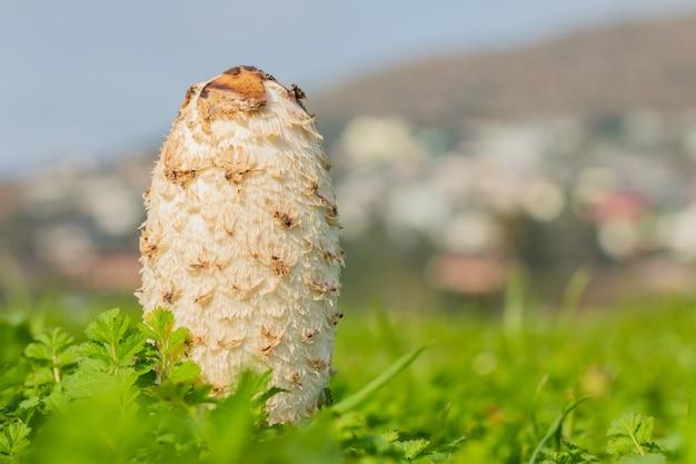 Foto de foco seletivo de um cogumelo de esterco branco como a neve em um campo na cidade do cabo, áfrica do sul