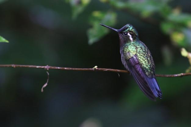 Foto de foco seletivo de um colibri verde-violeta empoleirado em um galho fino