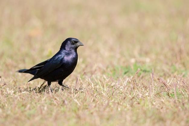 Foto de foco seletivo de um corvo negro no campo