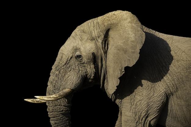 Foto de foco seletivo de um elefante magnífico capturado em um dia ensolarado com uma parede preta
