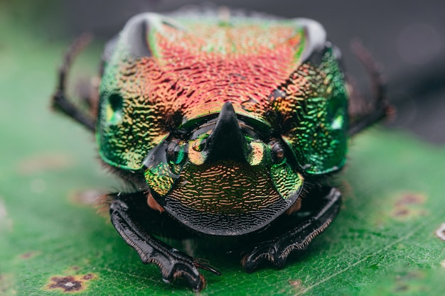 Foto de foco seletivo de um escaravelho arco-íris