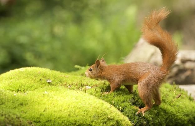 Foto de foco seletivo de um esquilo raposa fofo