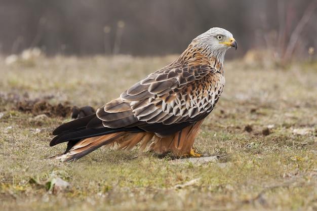Foto de foco seletivo de um falcão magnífico e exótico em um campo coberto de grama