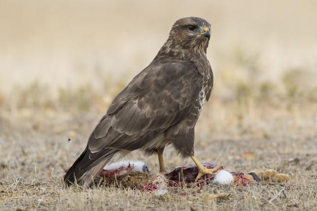 Foto de foco seletivo de um falcão magnífico parado poderosamente sobre sua presa