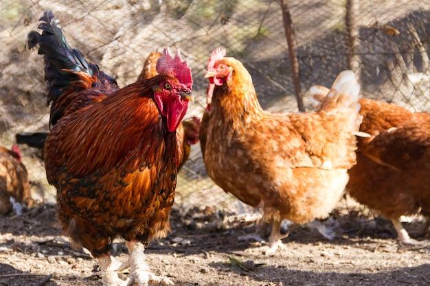 Foto de foco seletivo de um galo e uma galinha no galinheiro da fazenda