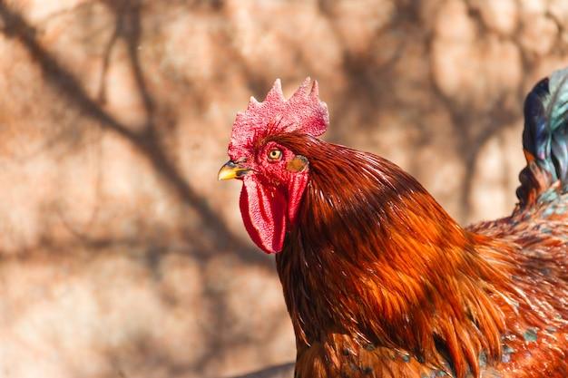 Foto de foco seletivo de um galo no galinheiro da fazenda