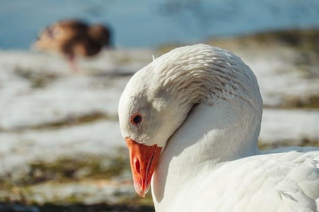 Foto de foco seletivo de um ganso branco