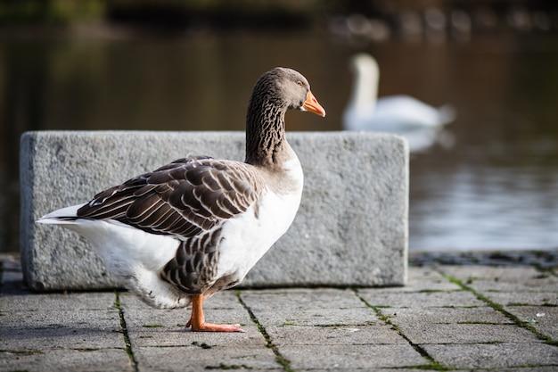 Foto de foco seletivo de um ganso parado perto da lagoa
