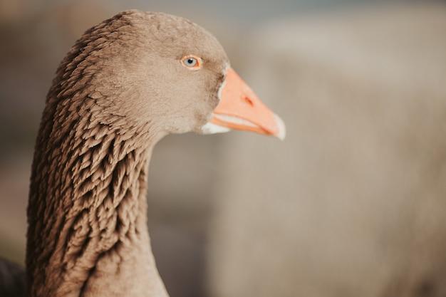 Foto de foco seletivo de um ganso sob a luz do dia