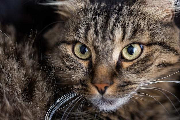 Foto de foco seletivo de um gato doméstico listrado olhando diretamente