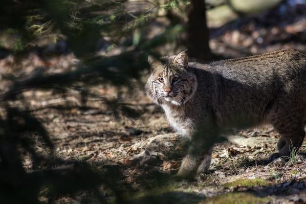 Foto de foco seletivo de um gato selvagem olhando