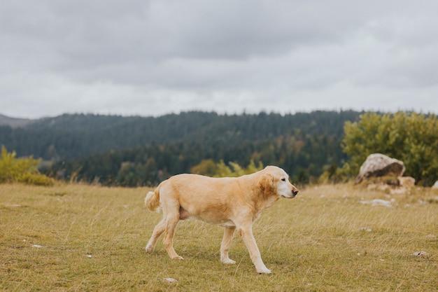 Foto de foco seletivo de um golden retriever marrom caminhando no campo