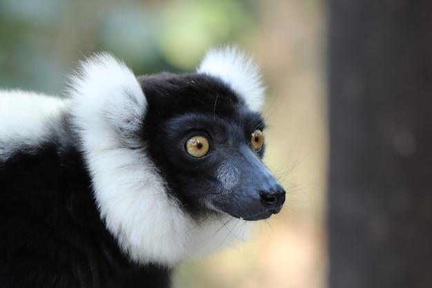 Foto de foco seletivo de um indri preto e branco (uma espécie de primata)