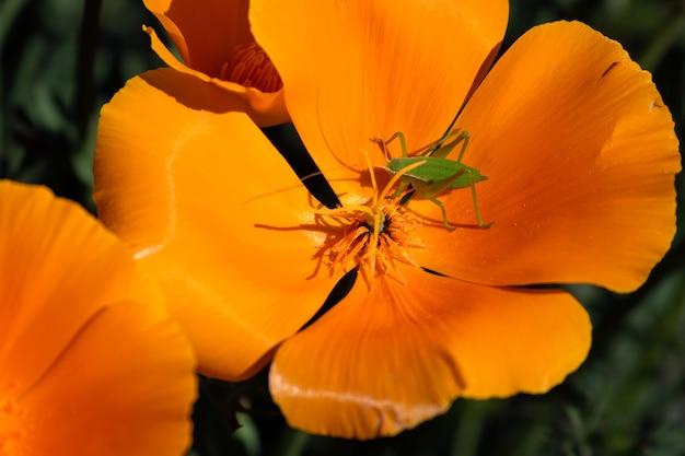 Foto de foco seletivo de um inseto verde em uma flor dourada de papoula