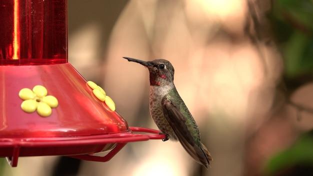 Foto de foco seletivo de um jovem beija-flor sentado em um alimentador de pássaros