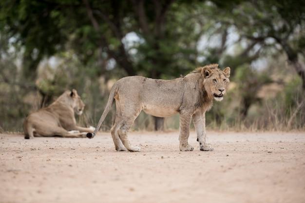 Foto de foco seletivo de um jovem leão em pé no chão