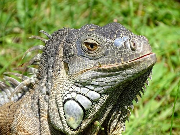 Foto de foco seletivo de um lagarto sentado na grama verde