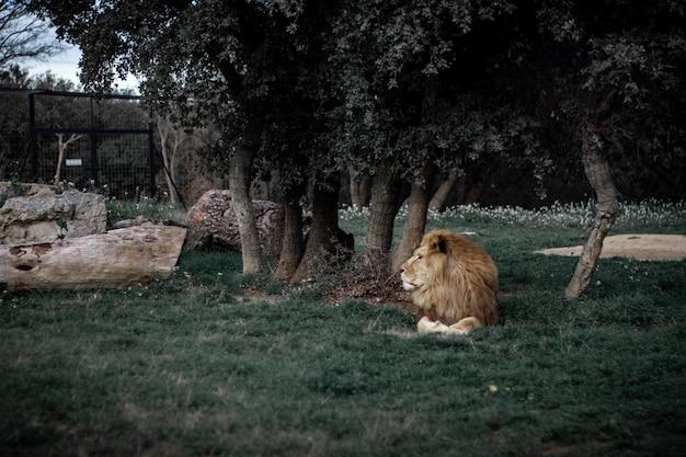 Foto de foco seletivo de um leão deitado em um campo gramado perto de árvores