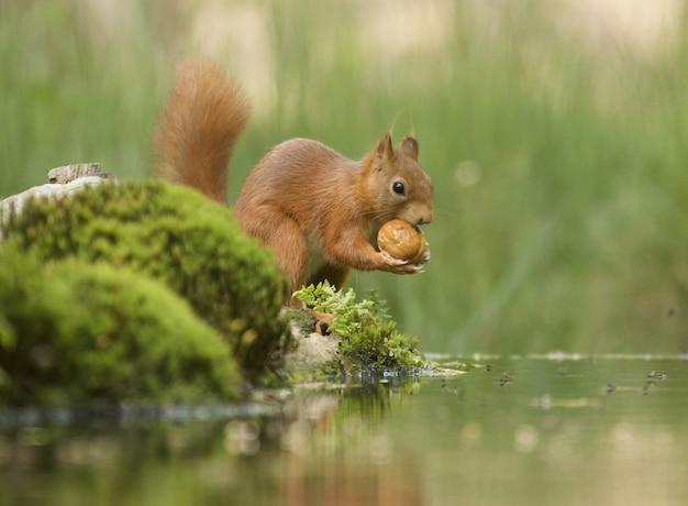 Foto de foco seletivo de um lindo esquilo-raposa marrom