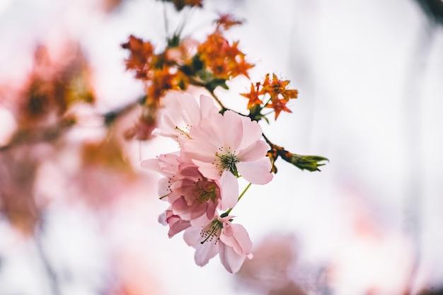 Foto de foco seletivo de um lindo galho com flores de cerejeira