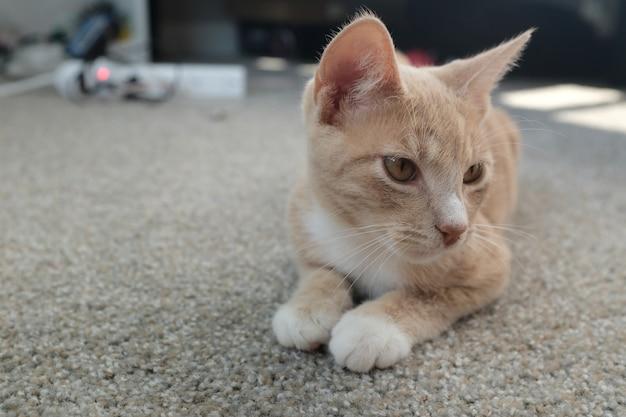 Foto de foco seletivo de um lindo gato bege deitado no chão e olhando para a direita