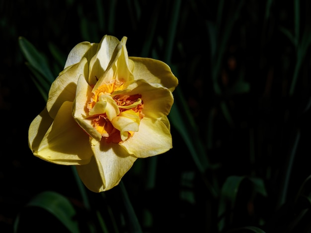 Foto de foco seletivo de um lindo narciso amarelo