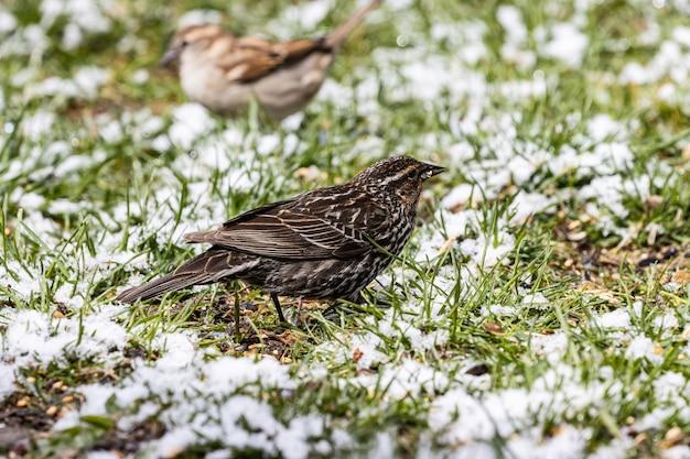 Foto de foco seletivo de um lindo pardal pequeno sentado no campo coberto de grama