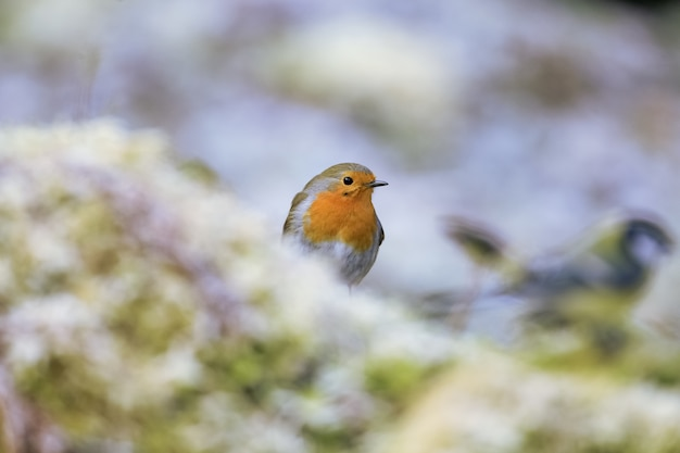 Foto de foco seletivo de um lindo pássaro robin europeu sentado no galho coberto de musgo