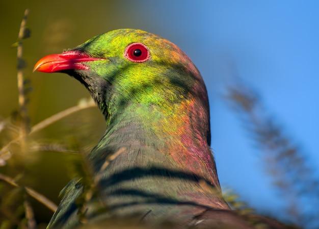 Foto de foco seletivo de um lindo pombo na nova zelândia