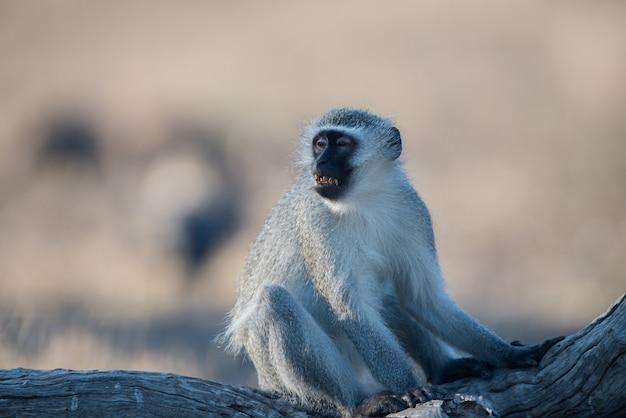 Foto de foco seletivo de um macaco de rosto preto sentado no galho