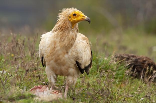 Foto de foco seletivo de um magnífico abutre egípcio no meio de um campo coberto de grama