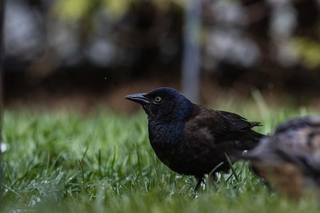 Foto de foco seletivo de um magnífico corvo em um campo coberto de grama