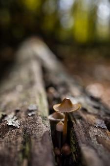Foto de foco seletivo de um mycena sp. cogumelo crescendo em madeira morta em uma floresta de castanheiros