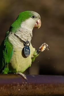 Foto de foco seletivo de um papagaio periquito monge engraçado comendo um pão