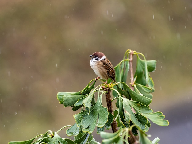 Foto de foco seletivo de um pardal em uma árvore ginkgo na chuva