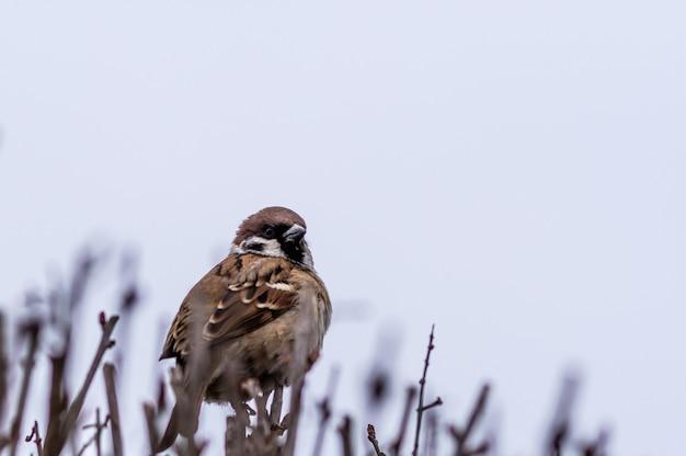 Foto de foco seletivo de um pardal empoleirado em galhos