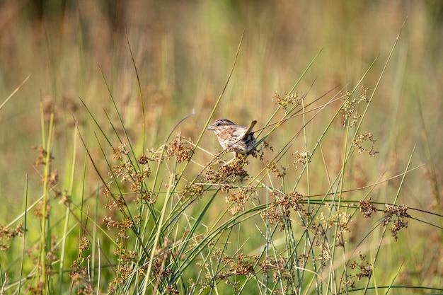 Foto de foco seletivo de um pardal empoleirado em plantas em um campo