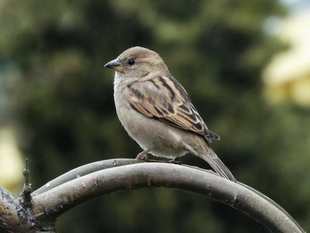 Foto de foco seletivo de um pardal empoleirado em um galho de árvore